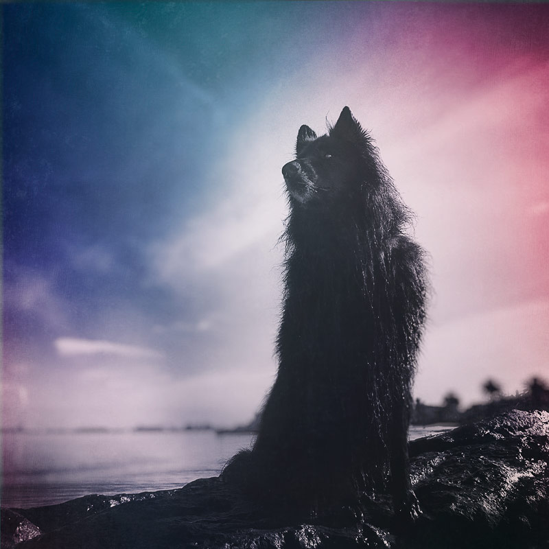WolfCub Belgian Shepherd looking heroic at the beach