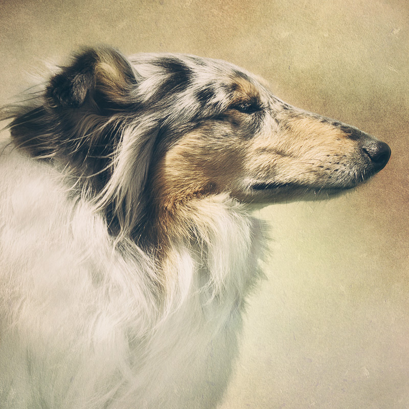 Tri colour Rough Collie