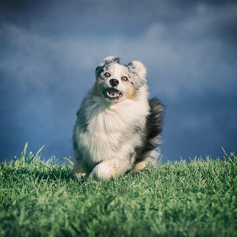 Australian Shepherd running with funny expression