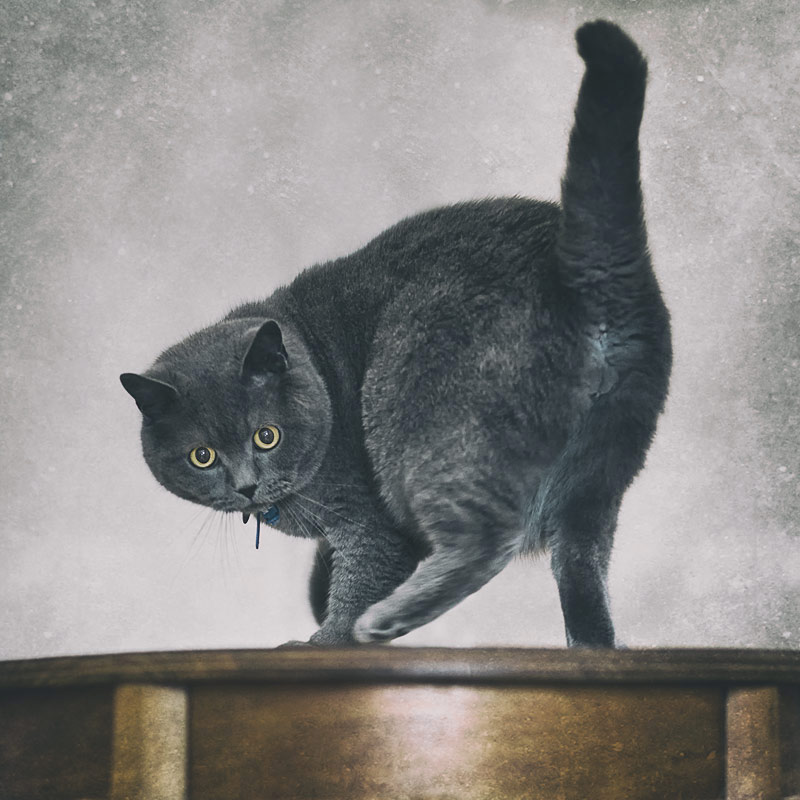 British shorthair cat playing on table