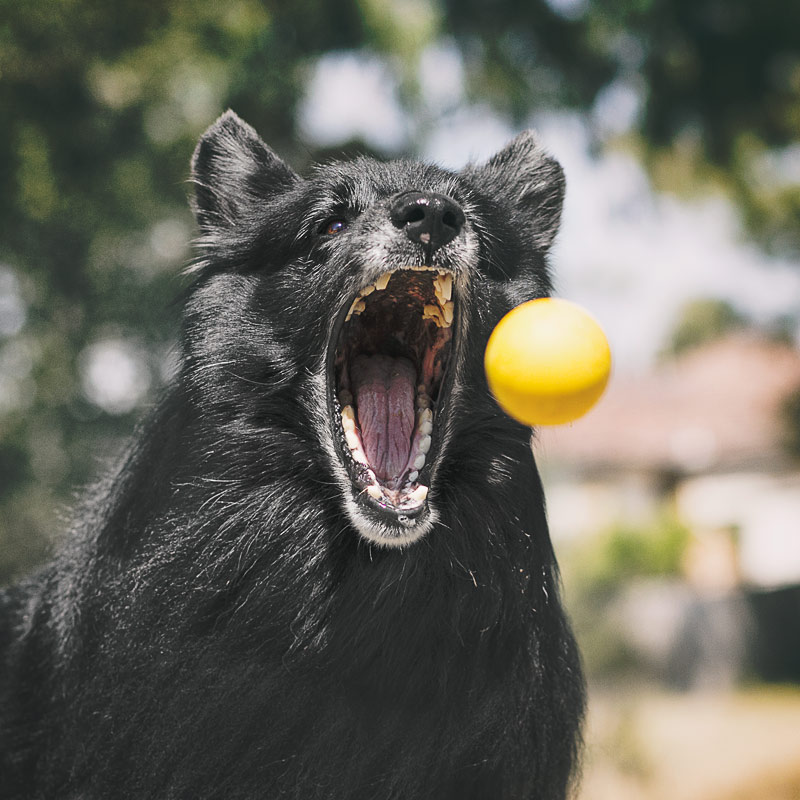 Dog with mouth open to catch ball