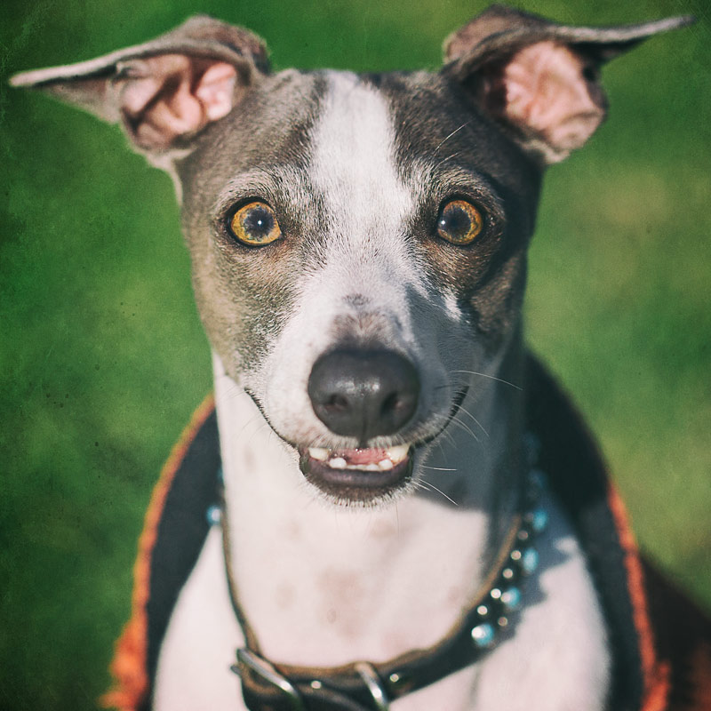 Portrait of a smiling Italian Greyhound