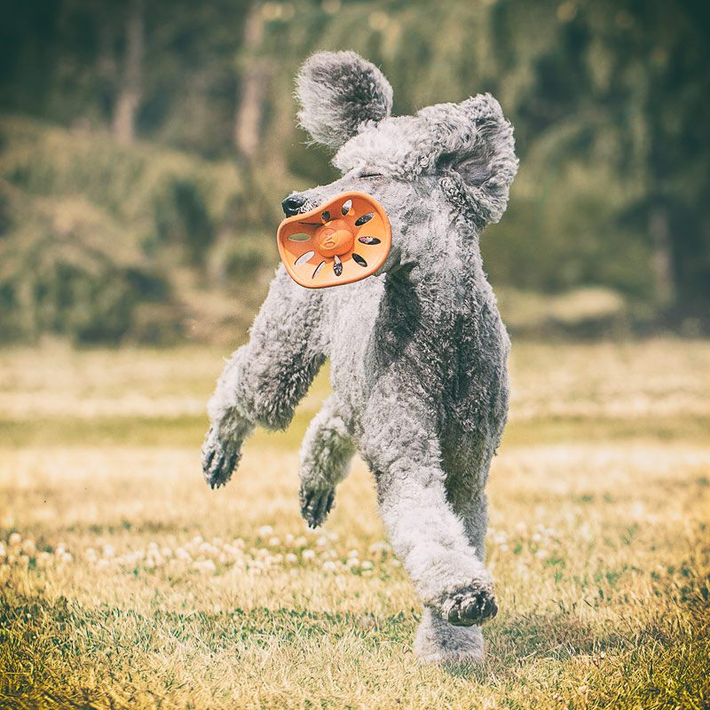 Standard Poodle running with toy in mouth