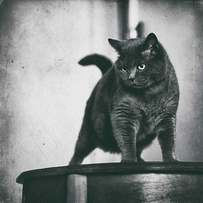 British Shorthair cat with an imposing stance