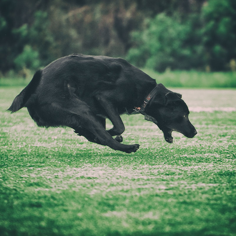 Flying dog with funny expression