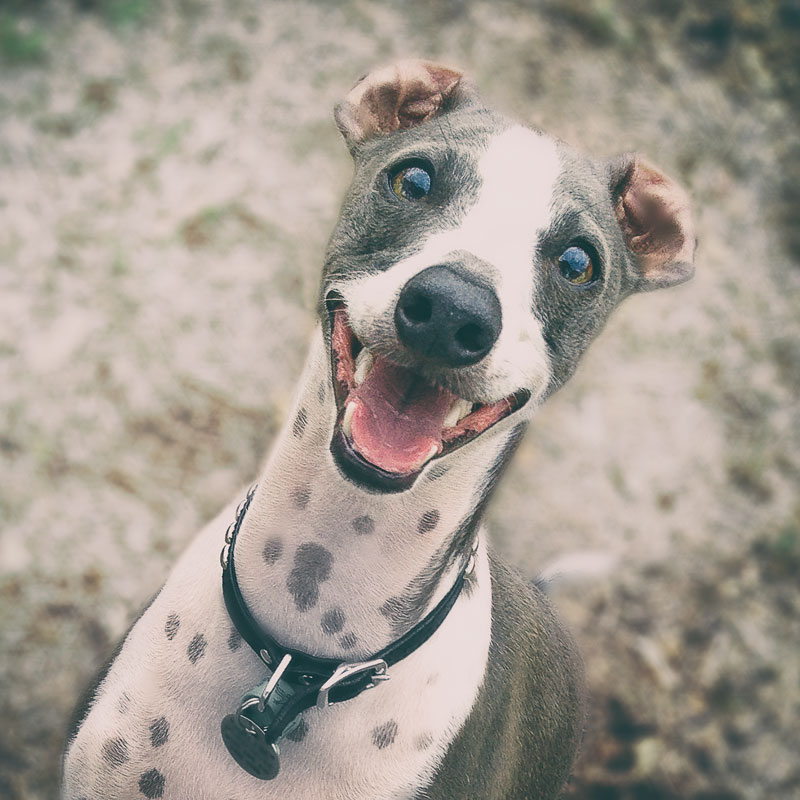 Smiling Italian Greyhound