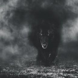 Belgian-Sheepdog-emerging-from-fog