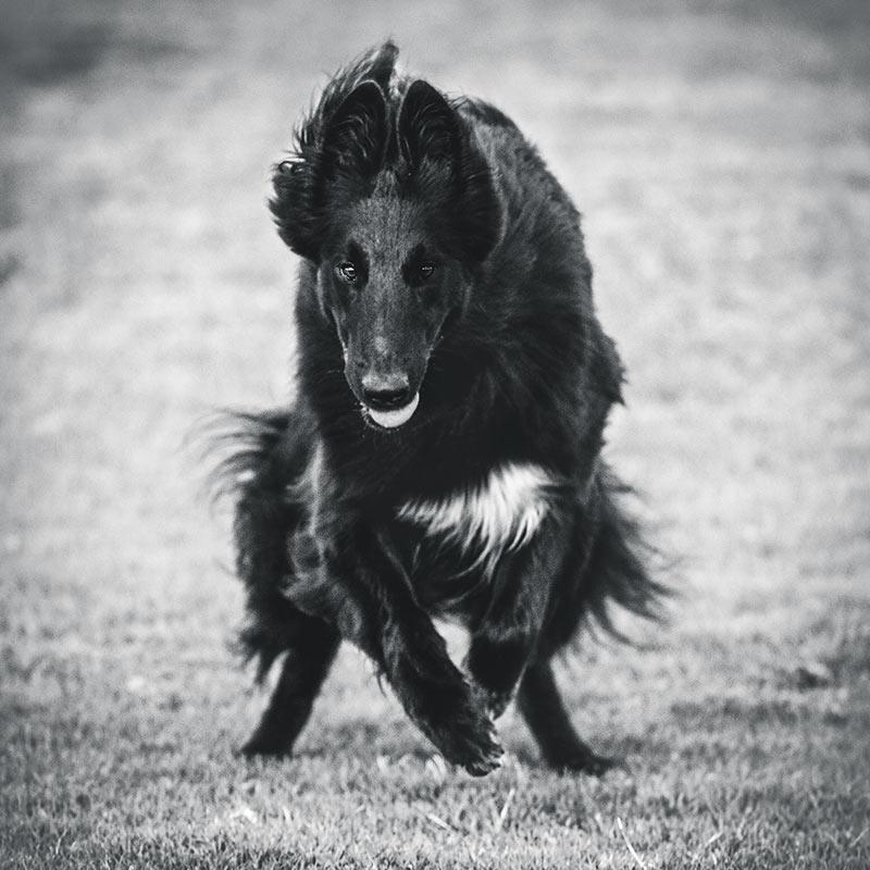 Dog-running-towards-camera
