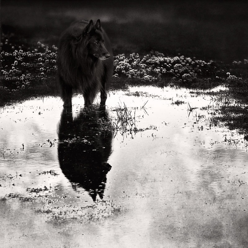 Dog-standing-in-pool-of-water-with-reflection