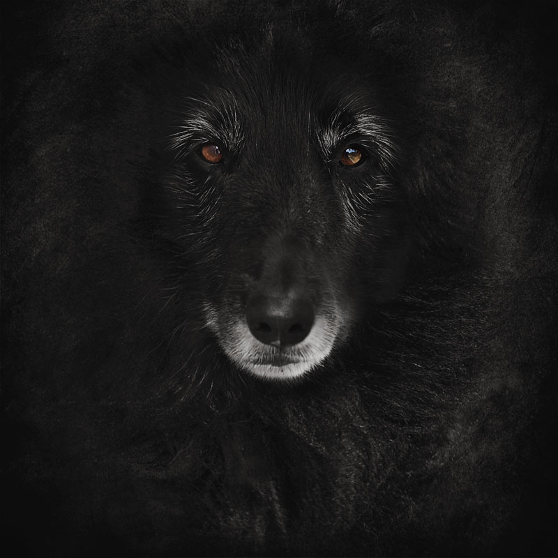 Portrait-of-Belgian-Sheepdog