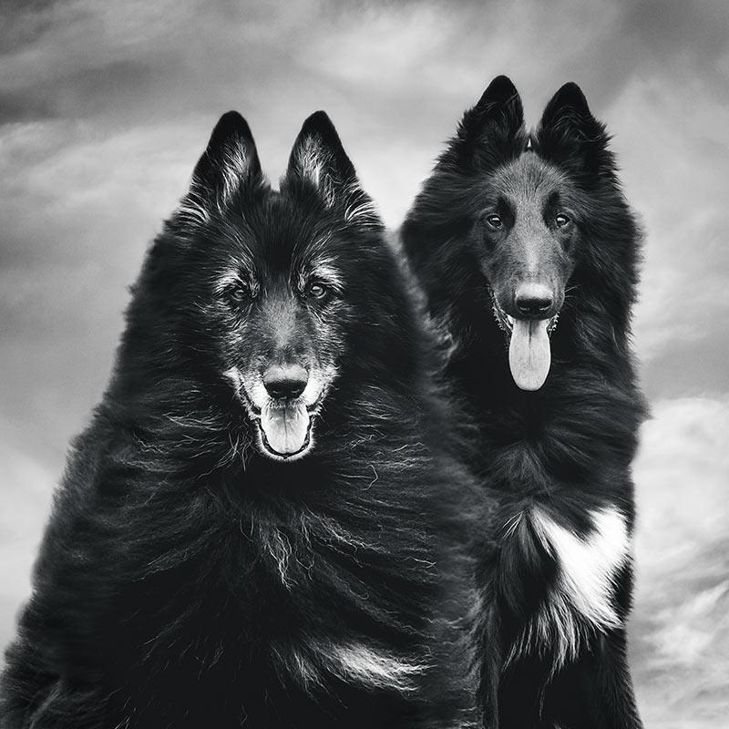Belgian Shepherds WolfCub and Phoenix
