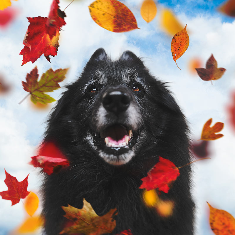 Belgian-Sheepdog-with-autumn-leaves