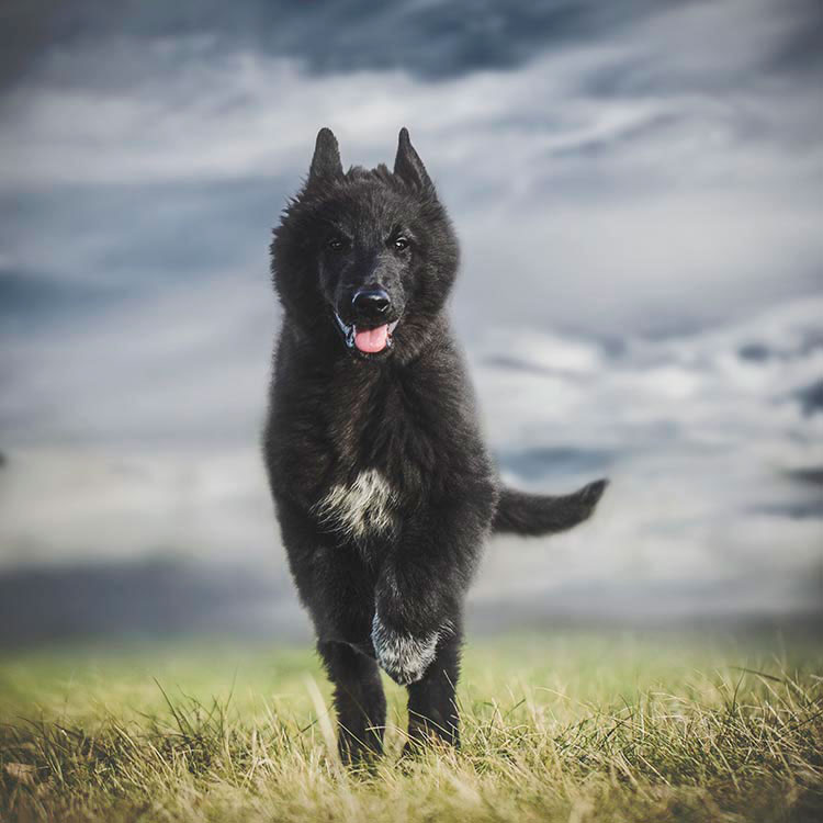 Belgian-Shepherd-puppy-running
