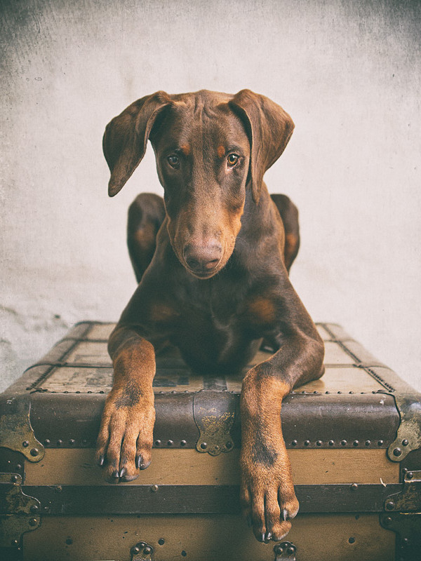 Doberman-puppy-sitting-on-a-suitcase