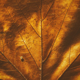 Golden-autumn-leaf