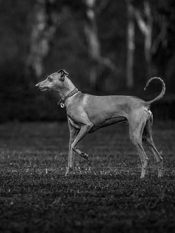 Italian-greyhound-posing
