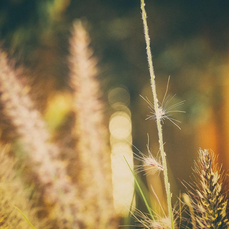 Native-grasses-in-golden-light