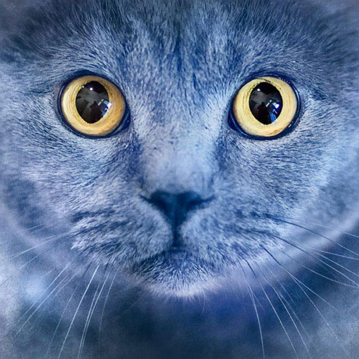 Portrait-of-British-Shorthair-cat-2
