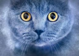 Portrait-of-British-Shorthair-cat