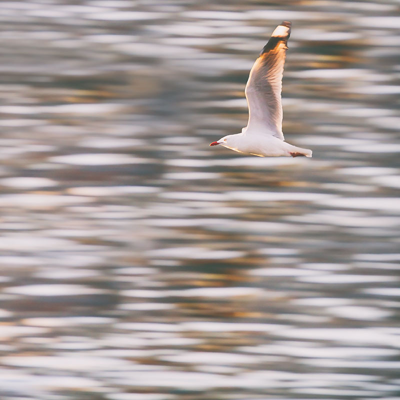 Seagull-skimming-across-water