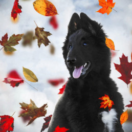 Belgian-Sheepdog-Phoenix-with-swirling-autumn-leaves