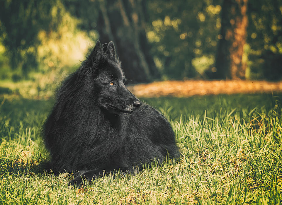 Belgian-Sheepdog-in-natural-setting