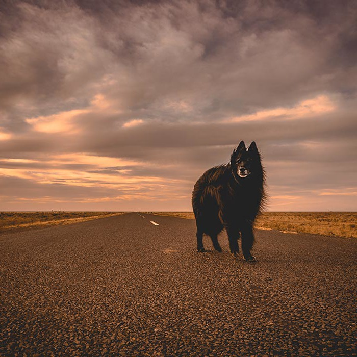 Belgian-Shepherd-standing-on-a-lonely-road