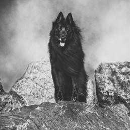 Belgian-Shepherd-standing-on-a-rock