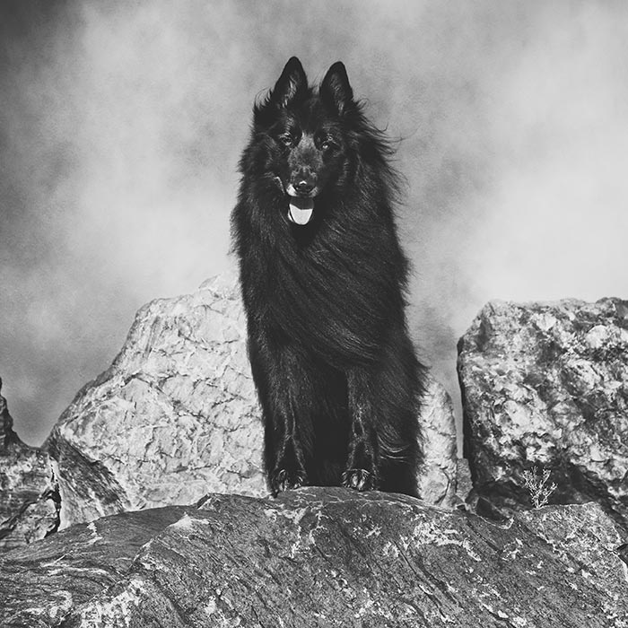 Belgian-Shepherd-standing-on-a-rock