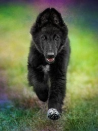Phoenix-Belgian-Shepherd-puppy-running-with-a-colorful-background