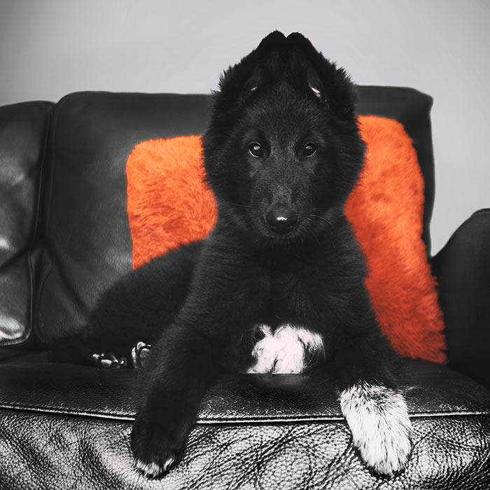 Phoenix-Belgian-Shepherd-puppy