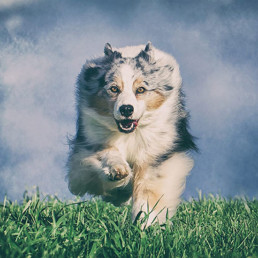 Australian-Shepherd-running-towards-camera-Edit