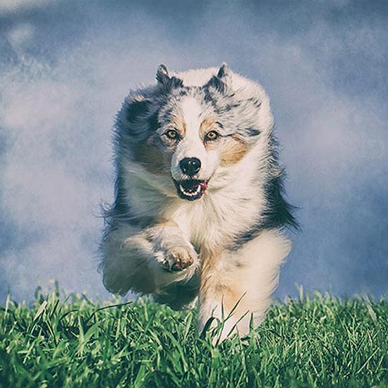 Australian-Shepherd-running-towards-camera-Edit