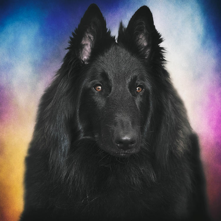 Belgian-Sheepdog-portrait