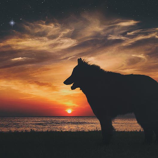 Belgian-Shepherd-at-sunset