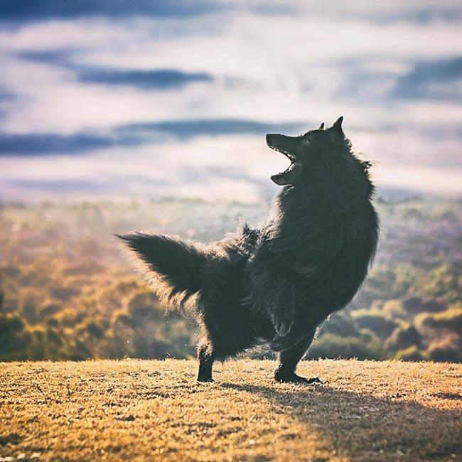 Belgian-Shepherd-dancing-