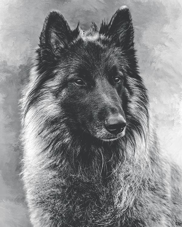 Belgian-Tervuren-portrait