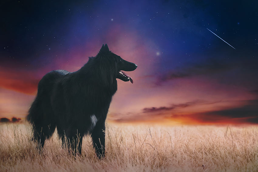 Belgian-sheepdog-looking-at-shooting-star