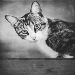 Black-and-white-cat-portrait