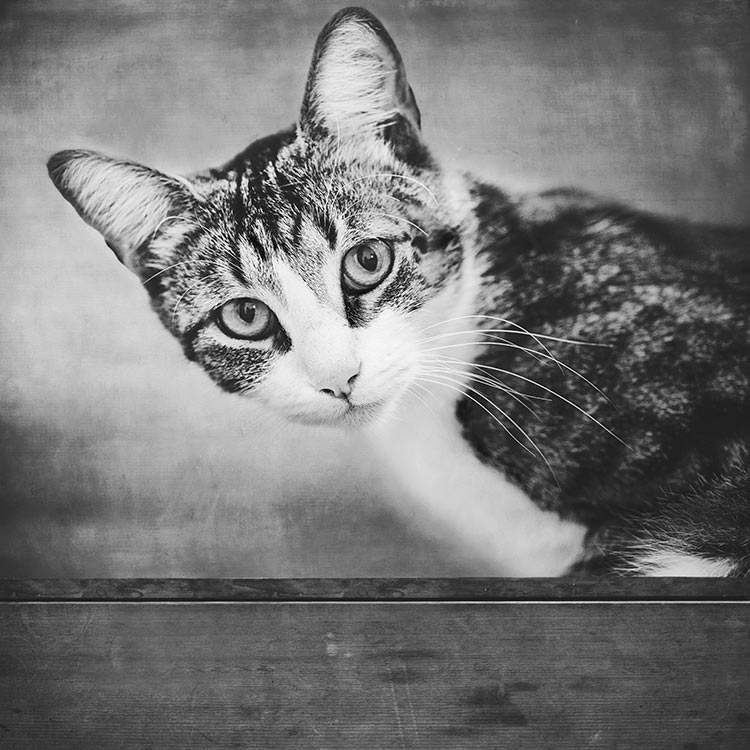 Black-and-white-cat-portrait