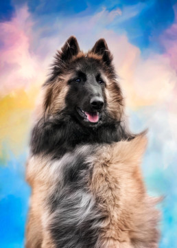 Portrait of a Tervuren Dog