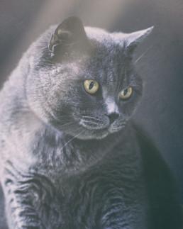 British-Shorthair-cat-in-light