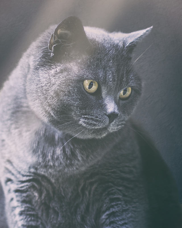 British-Shorthair-cat-in-light