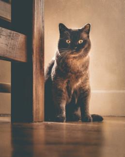 Burmese-cat-portrait