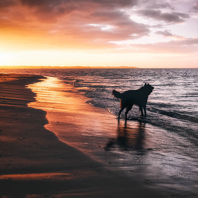 Dog-on-beach-at-sunset