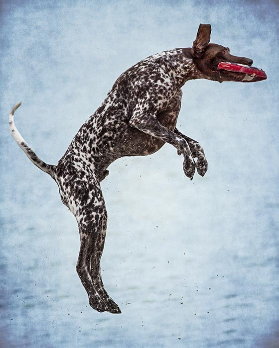 Elnglish-Pointer-leaping-in-air-to-catch-toy