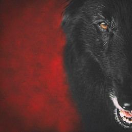 Half-face-portrait-of-a-Belgian-Shepherd