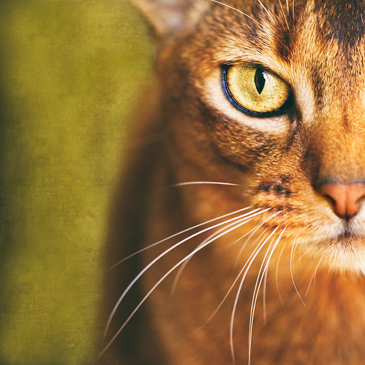Half-face-portrait-of-an-Abyssinian-cat