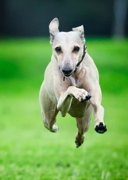 Italian-Greyhound-leaping-through-the-air