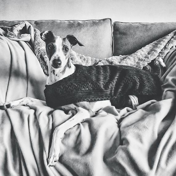 Italian-Greyhound-relaxing-on-a-sofa